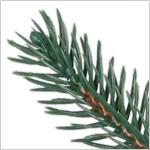 Revelstoke Fir PDP Foliage