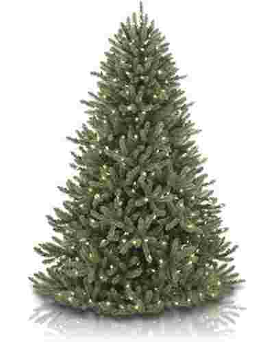 Canadian Blue Green Spruce Main