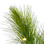 Monterey Pine PDP Foliage