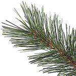 Scotch Hill Pine PDP Foliage