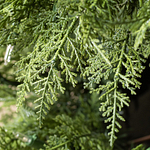 Cedar Topiary by Balsam Hill Foliage