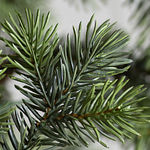 Yukon Spruce by Balsam Hill