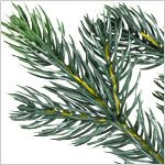 Norway Spruce Tree PDP Foliage