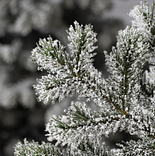 Frosted Yukon Spruce by Balsam Hill Detail