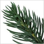 Colorado Mountain Spruce  Tree PDP Foliage