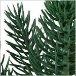 Durango Douglas Fir by Balsam Hill Foliage
