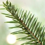 Alpine Balsam Fir Foliage