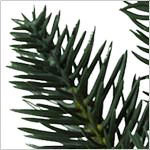Aspen Estate Fir  Tree PDP Foliage