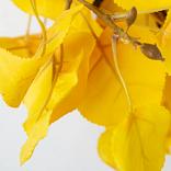 Golden Aspen Foliage by Balsam Hill PDP Foliage