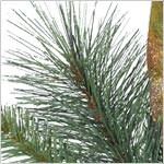 Coloma Golden Pine Potted Tree PDP Foliage