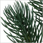 Sonoma Slim Pencil Tree by Balsam Hill Foliage