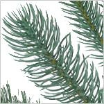 Windsor Potted Spruce Tree PDP Foliage