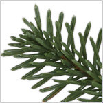 BH Nordmann Fir by Balsam Hill Foliage