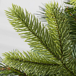 Swiss Mountain Pine PDP Foliage