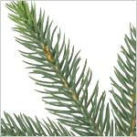 Centennial Fir Instant Evergreen by Balsam Hill Foliage