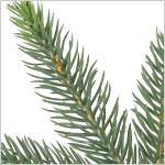 Centennial Fir Instant Evergreen  PDP Foliage