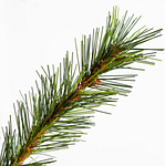 Norwegian Grand Fir PDP Foliage