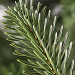 European Fir Christmas Foliage by Balsam Hill Foliage