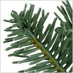 BH Balsam Fir Narrow PDP Foliage