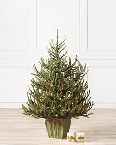 Potted Baby Spruce Tree-1