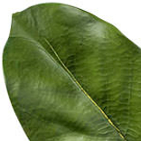 Magnolia Leaf Foliage by Balsam Hill Foliage